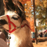 Fall color and llamas in Rhinebeck, NY
